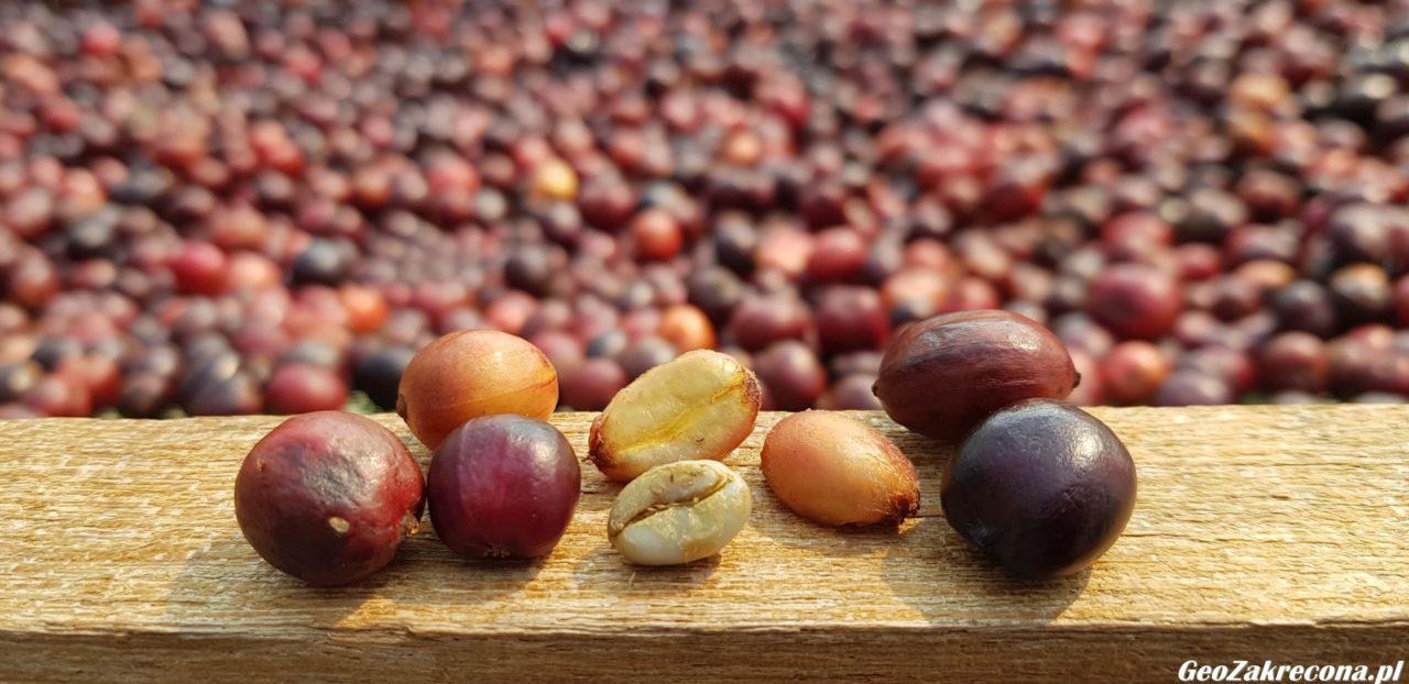 Farma kawy Tajlandia GeoZakręcona