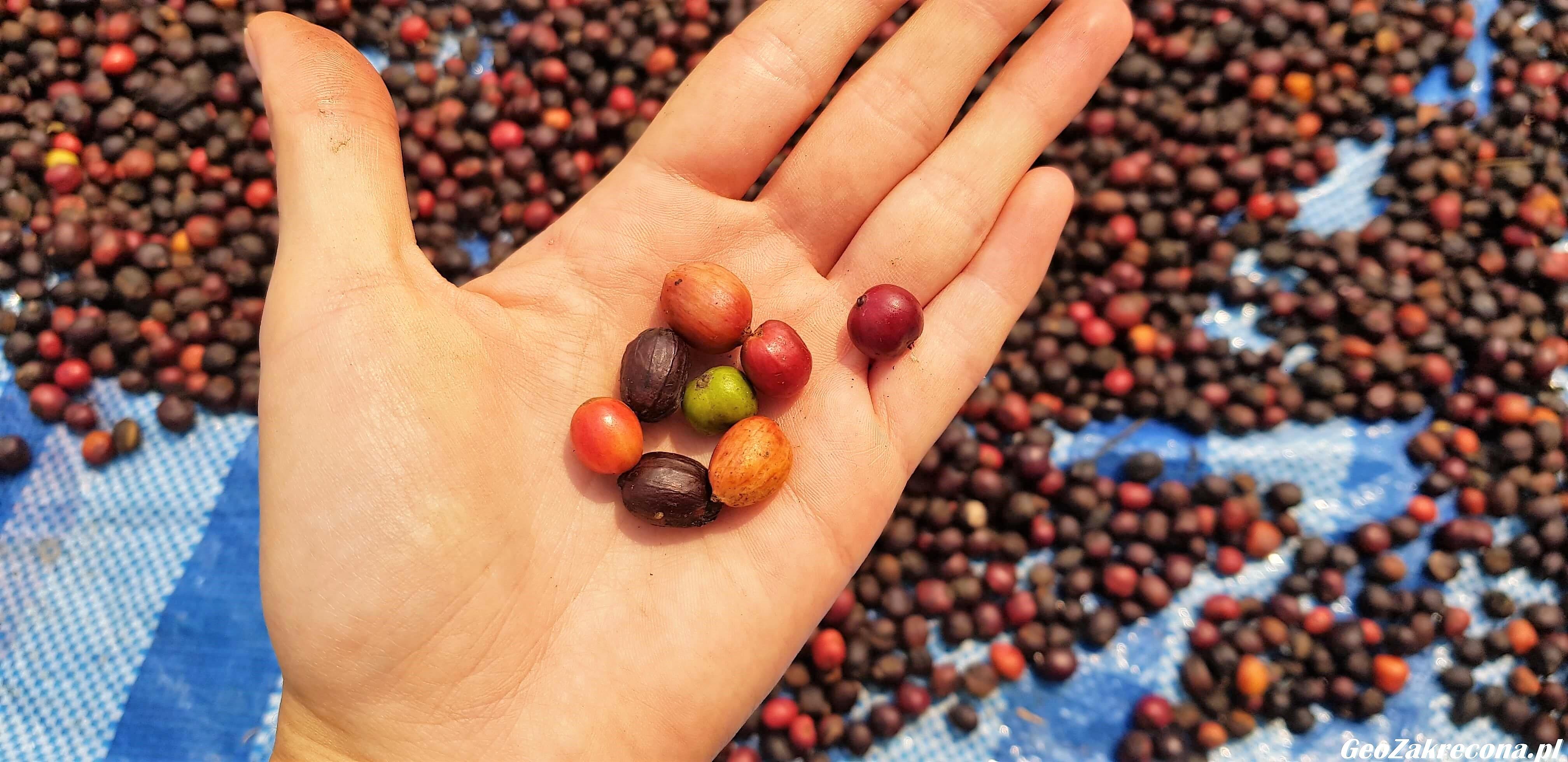 Plantacja kawy w tajskich górach