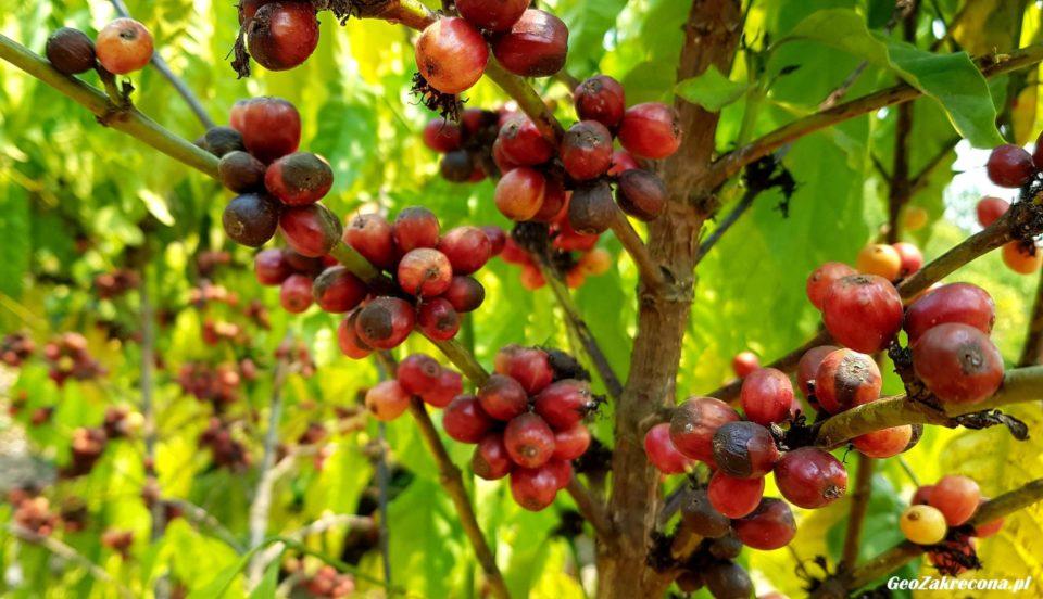 Plantacje kawy w tajskich górach