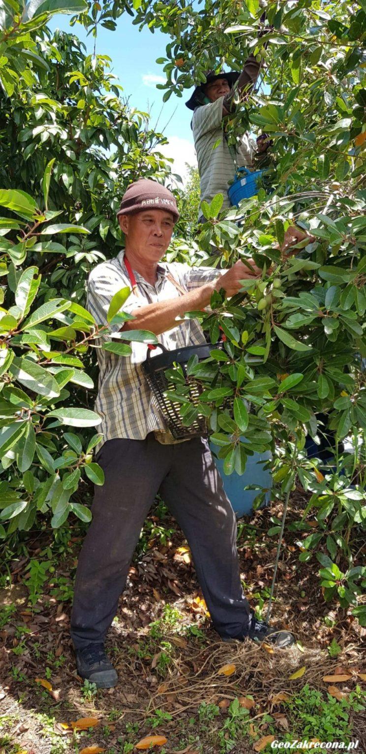 Oliwki z Tajlandii